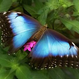 Blue Morpho Beauty by Karen Wiles