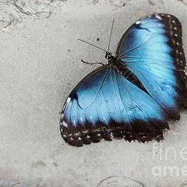 Blue Morpho Butterfly by Anita Faye