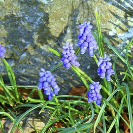 Blue Spring Flowers by Robert Tubesing
