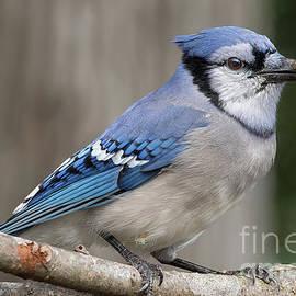Blue Tones - Blue Jay - Cyanocitta cristata by Spencer Bush