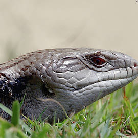 Blue tongue lizard 5252. by Kevin Chippindall