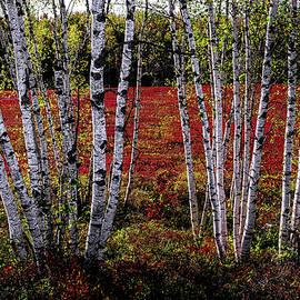 Blueberry Barren Birches 2 by Marty Saccone