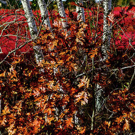 Blueberry Barren Birches 1 by Marty Saccone