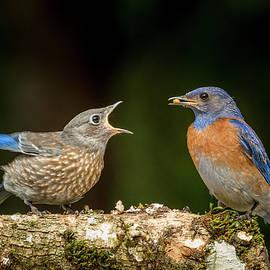 Bluebird Begging for Mealworm by Jean Noren