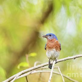 Bluebird Breakfast by Scott Pellegrin
