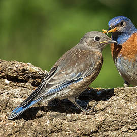 Bluebird Family at the Feeder by Jean Noren