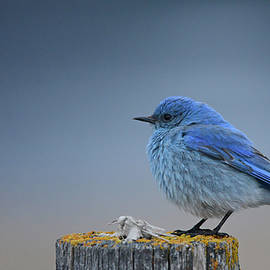 Bluebird of the Angels by Whispering Peaks Photography