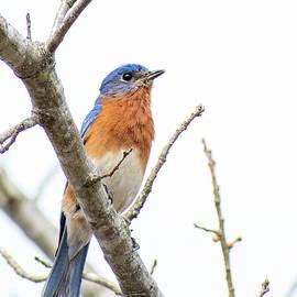 Bluebird on a Branch by Mary Ann Artz