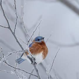 Bluebird on Frosty Branch by Patti Deters