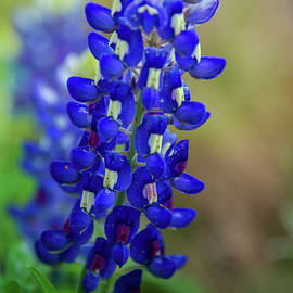 Bluebonnet Love by Lynn Bauer