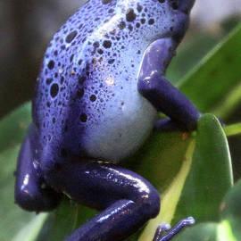 BluePoisonDartFrog-3689 by Gary Gingrich Galleries