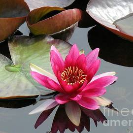 Blush Pink Water Lily by Kathryn Jones