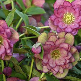 Blushing Bridesmaids Lenten Roses by Robert Tubesing