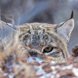 Bobcat Eyes by Greg Bergquist