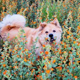 Bodhi in the Globemallows by Judy Kennedy