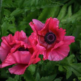 Bold Crushed Silk - Pink and Purple Poppy Pair by Georgia Mizuleva