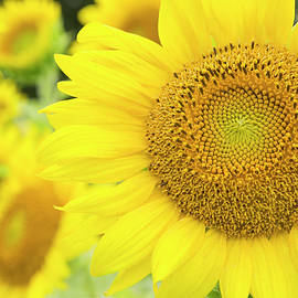 Bold Sunflower  by Lindley Johnson
