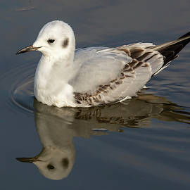 Bonaparte's Gull Reflected 11/27 by Bruce Frye