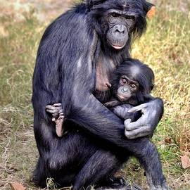 Bonobo and Her Baby by Richard Bryce and Family