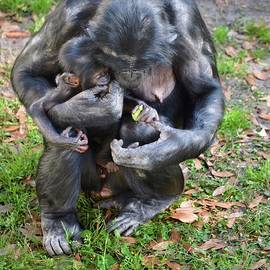 Bonobo Family Moment by Richard Bryce and Family