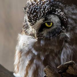 Boreal owl portrait by Mircea Costina Photography