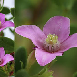 Boronia Pink Passion by Deane Palmer