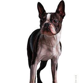 Boston Terrier by Marlene Watson