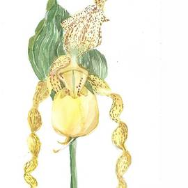 Botancial Study of the Yellow Lady Slipper by Mindy Newman