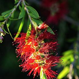 Bottlebrush Flower, Australia by Steven Ralser