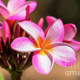 Bouquet of Pink Plumeria Flowers by Phillip Espinasse