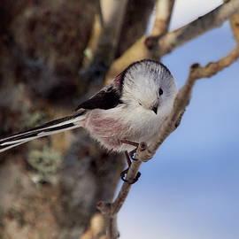 Bow and blues. Long-tailed tit by Jouko Lehto