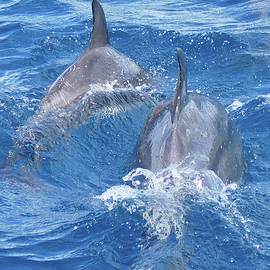 Bow-riding Bottlenose Dolphin Pair by Maryse Jansen