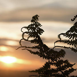Bracken Fern Silhouette at Sunset by Jackie Tweddle