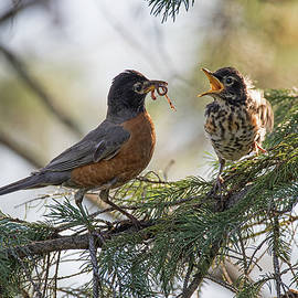 Breakfast Time - American Robin - Turdus migratorius by Spencer Bush