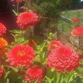 Bright and Beautiful Zinnias by Charlotte Gray
