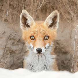 Bright Eyes - Fox kit in her den by Roeselien Raimond