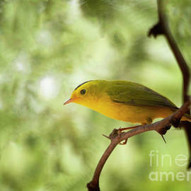 Bright wilson's warbler by Ruth Jolly