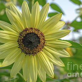Brilliant Yellow Sunflower by Linda Howes