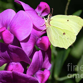 Brimstone butterfly on a Sweet pea flower by Birgitta Astrand
