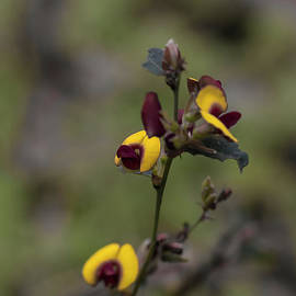 Broad Leafed Brown Pea - Bossiaea ornata by Elaine Teague