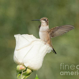 Broad-tailed Hummingbird on a White Rose by Dennis Hammer