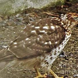 Broad Winged Hawk   Immature           Indiana       January by Rory Cubel