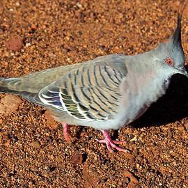 Bronze Wing Pigeon, Alice Springs,Australia by Venetia Featherstone-Witty