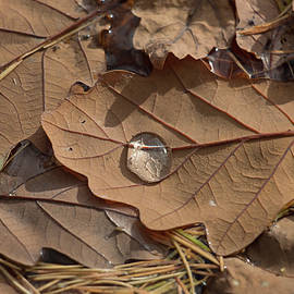 Brown autumn oak leaf floating in water with water droplet, close-up view by Jackie Tweddle