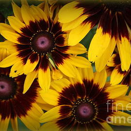 Brown-eyed Susans in Early Fall by Dora Sofia Caputo