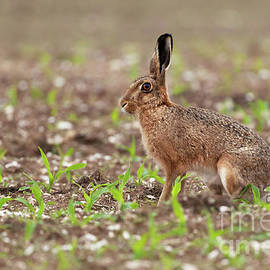 Brown hare at in a field of crops by Simon Bratt Photography LRPS