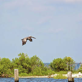 Brown Pelican Cruising the Biloxi Marsh by Scott Pellegrin