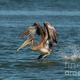 Brown Pelican on Take Off by Jackie Follett