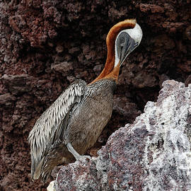 Brown Pelican Preening by Sally Weigand