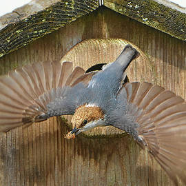 Brown Headed Nuthatch Flight by Jerry Griffin